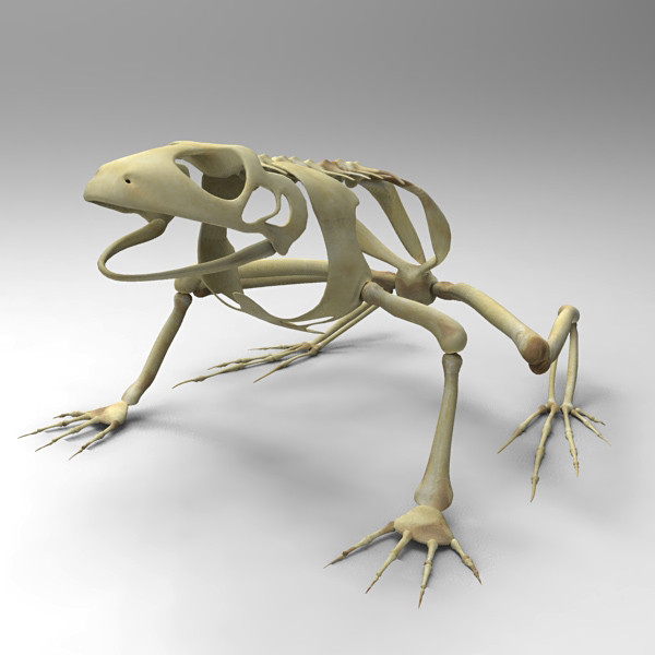 Frog Skeleton Drawing Frog Skeleton